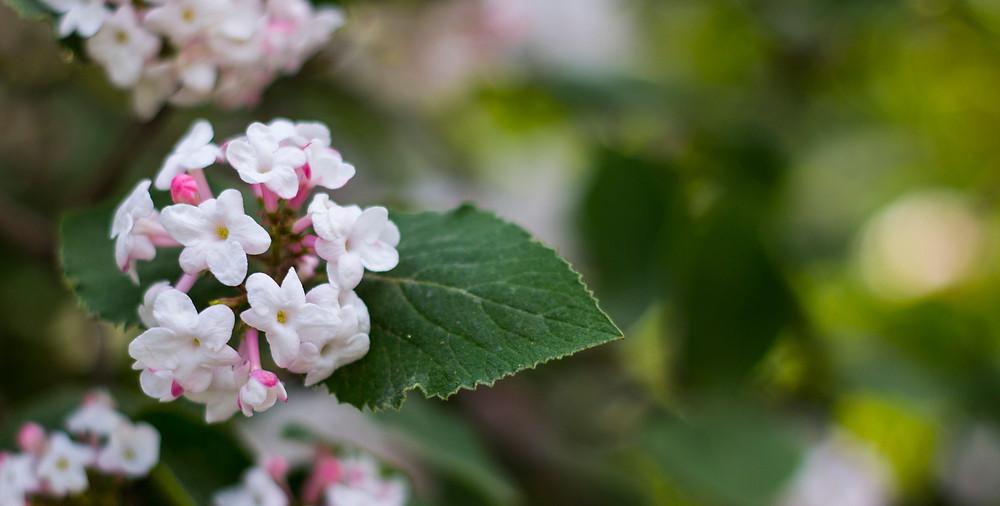 Fragrant blooms of viburnum carlesii (Koreanspice viburnum).