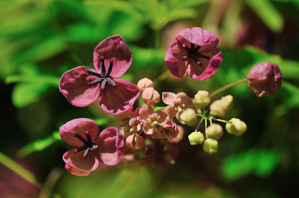 Maroon flowering akebia vine with fragrant blooms.