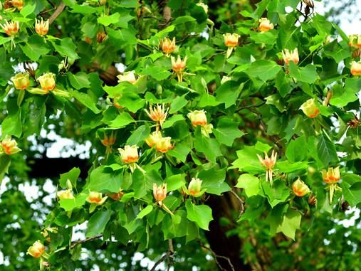 Plant Lore: Tulip Tree Poplar (Liriodendron tulipifera)