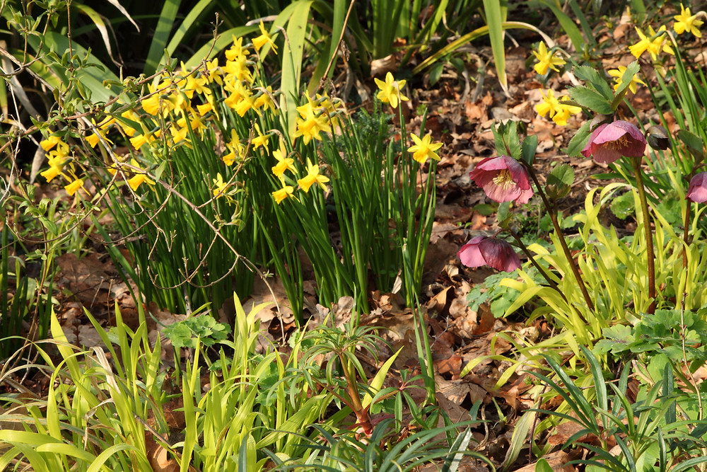 Daffodils and hellebores blooming in spring in the garden.