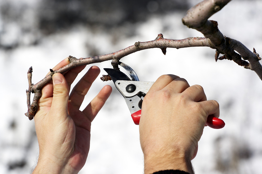 Late winter is the ideal time for lots of pruning around the garden. Image by MireXa courtesy iStock.