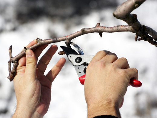 Late-Winter Pruning