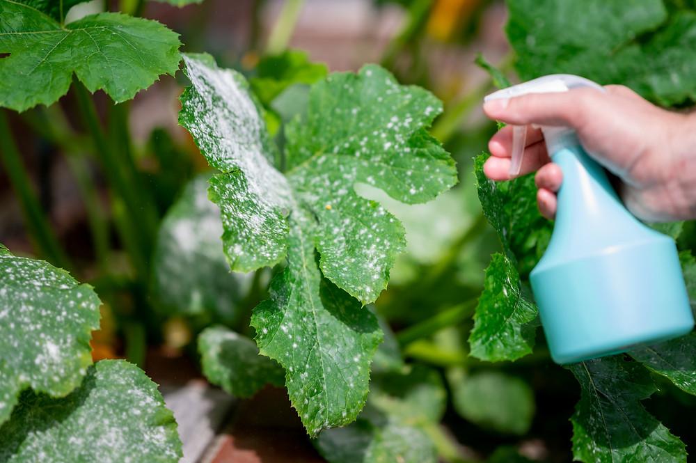 Treating powdery mildew on zucchini plant with spray. Image by Fokusiert courtesy iStock.