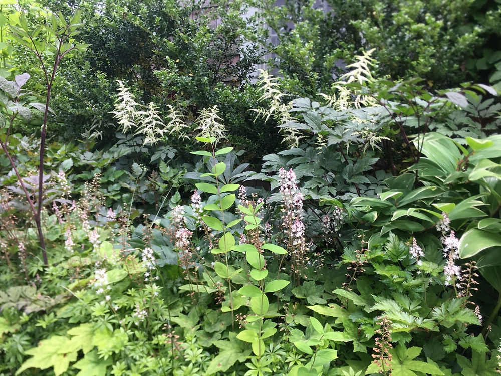 """A lush, naturalistic shade border features astilbe and tiarella with ilex """"Steeds"""" as a deep green backdrop."""