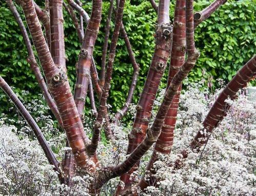 birchbark cherry tree, bark