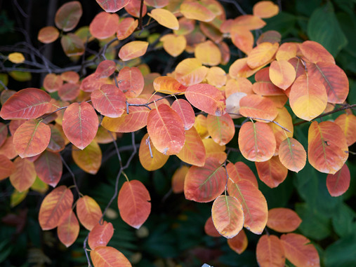 Plant Lore: Serviceberry (Amelanchier canadensis)