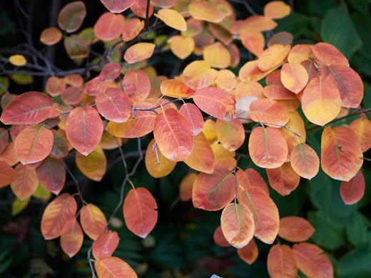 Plant Lore: Serviceberry (Amelanchier canadensis)