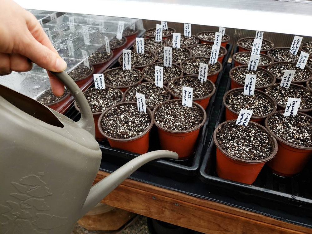 Bottom watering seedlings is best. Image courtesy Homestead & Chill.