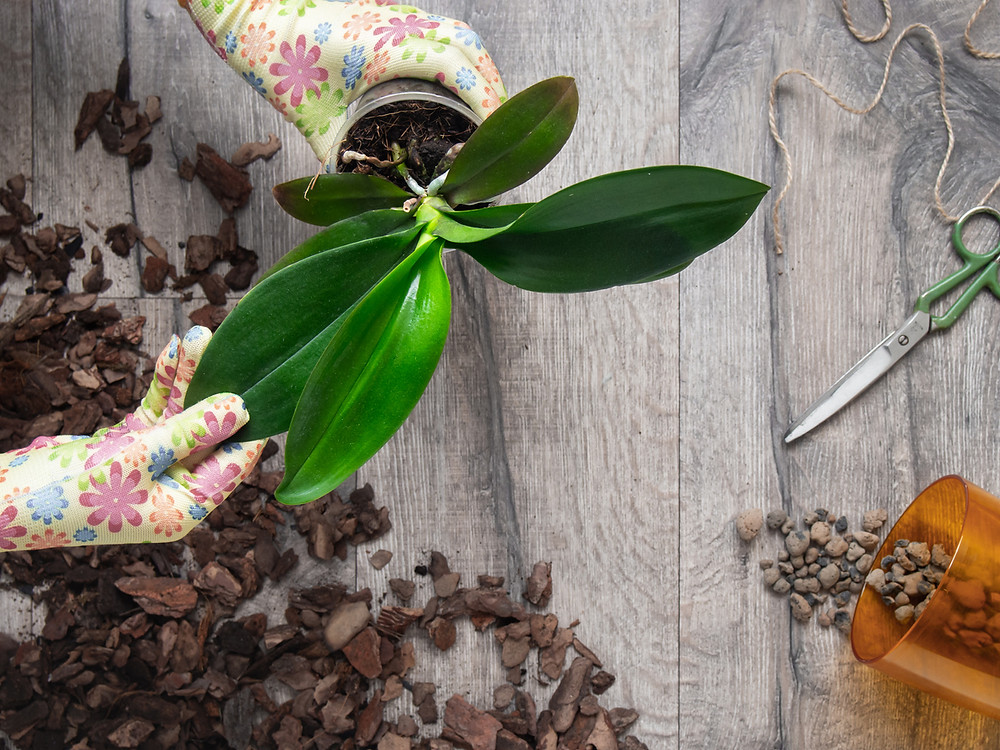 Repotting an orchid with orchid bark and pebbles.