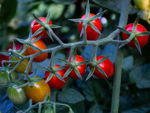 3 Tips for Better Summer Tomatoes