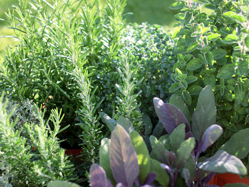 What To Plant Now: Herbs