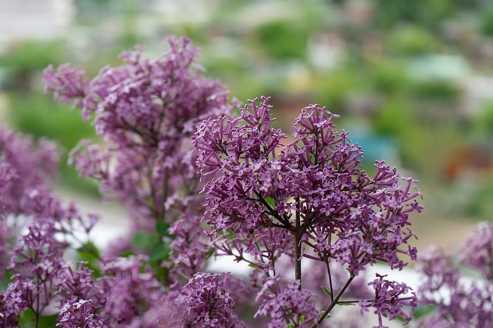 Purple flowers of a dwarf lilac shrub.