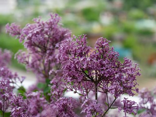 Best Plants for Spring + Summer Fragrance
