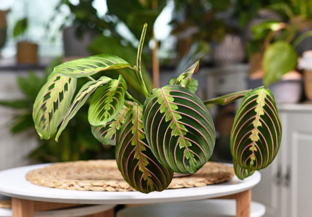 Maranta commonly known as prayer plant features beautiful variegated leaves and is pet-safe.