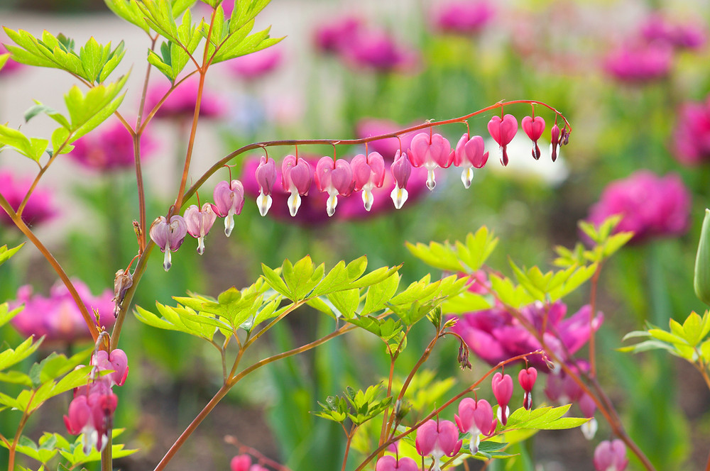 Dicentra spectabilis. Image by NKBimages courtesy iStock.