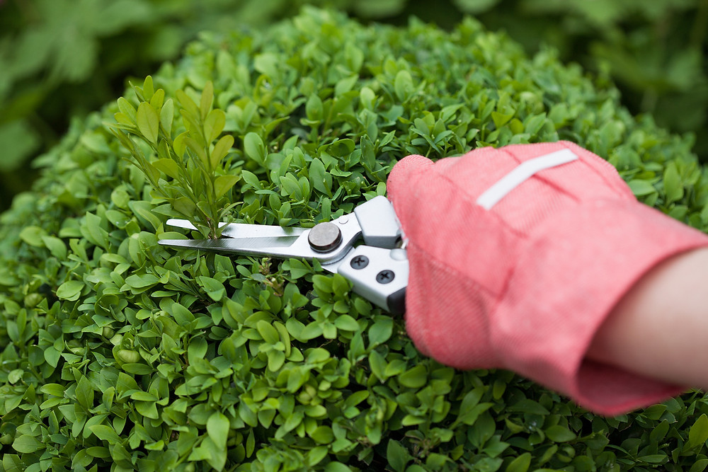 Pruning a boxwood shrub for shape.