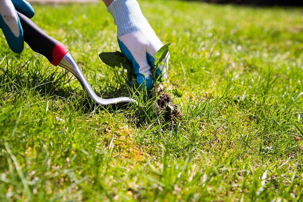 Manually weeding a lawn.