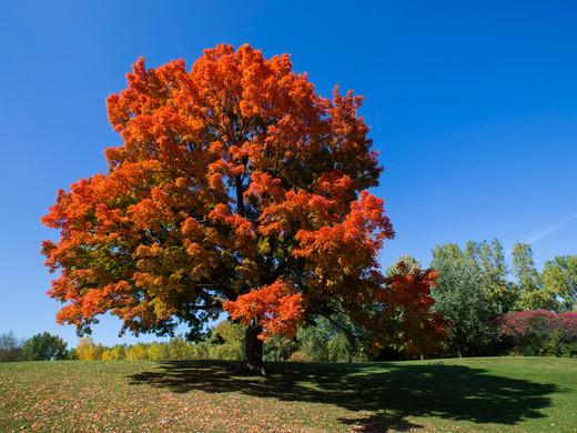 Plant Lore: Maples (Acer sp.)