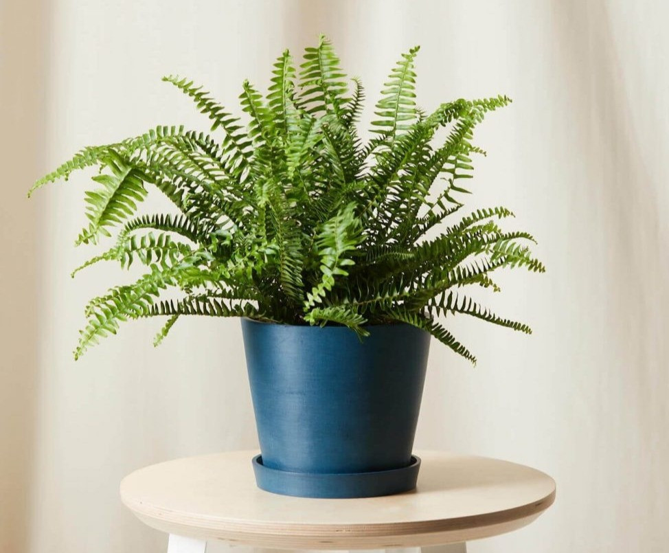Kimberly fern from Bloomscape.