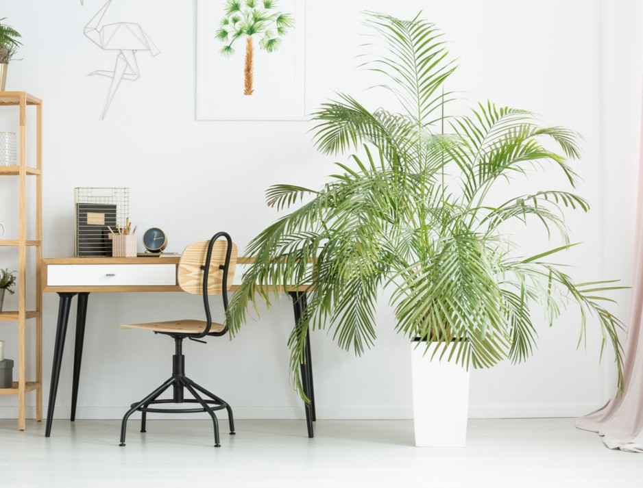 A bamboo palm, areca palm, parlor palm is a pet-friendly indoor plant.