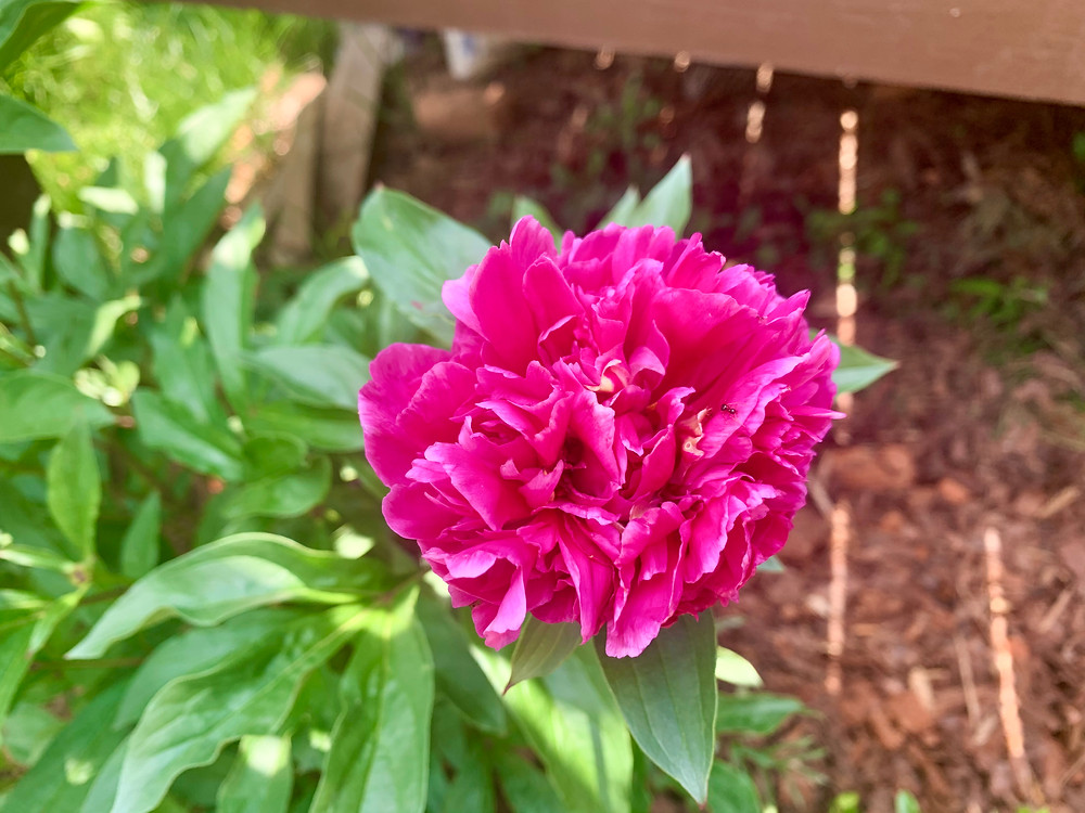 """I love the volume and vibrance of the """"Karl Rosenfield"""" peony."""