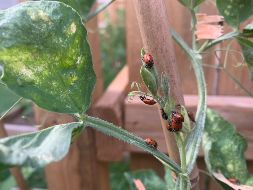 Plant Rx: Attack of the Aphids