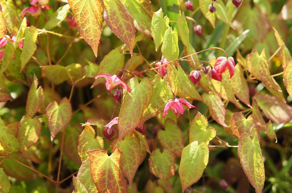 Epimedium flowers hang delicately above red-tinged foliage.