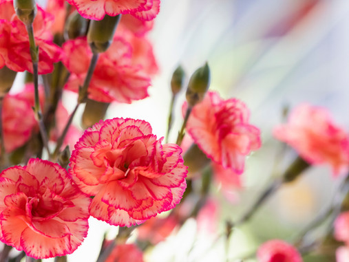 Plant Lore: Carnation, The Flower of the Gods