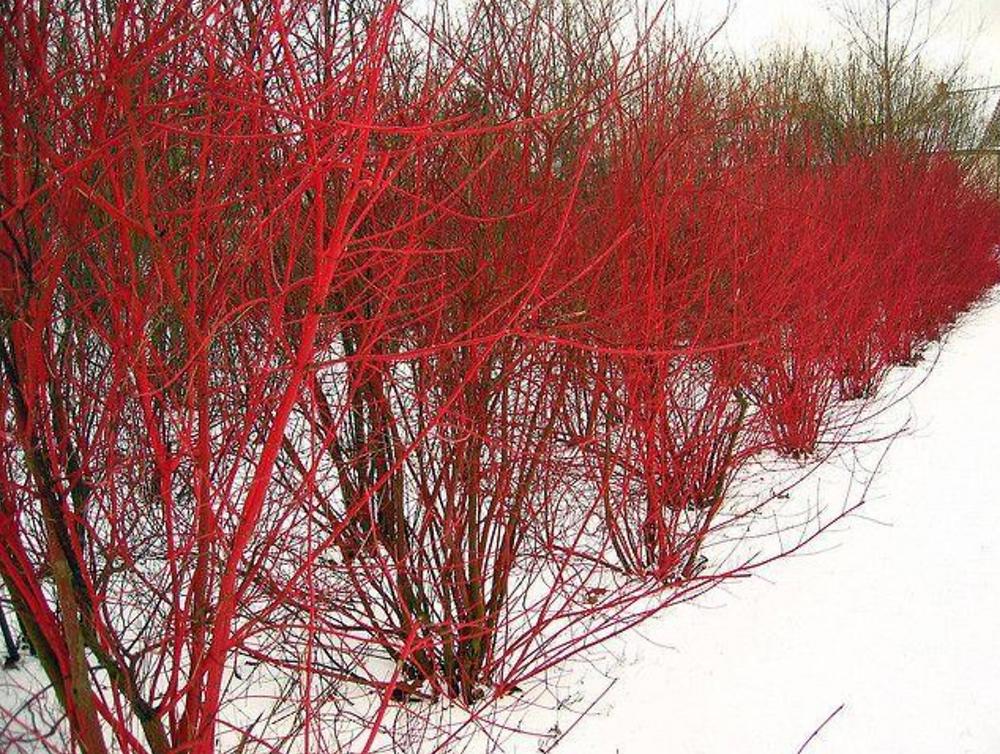 Red twig dogwood, winter interest, bark, cornus
