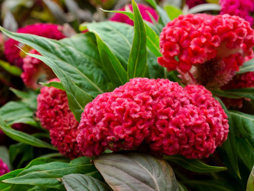 What to Plant Now: Autumn Annuals