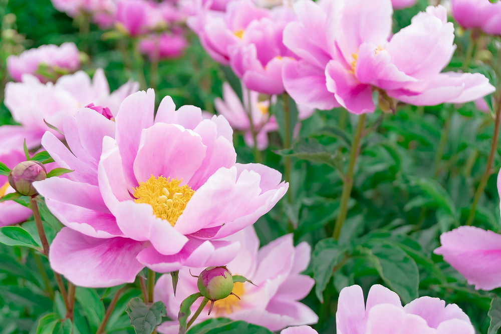 Pink peony flowers in bloom.