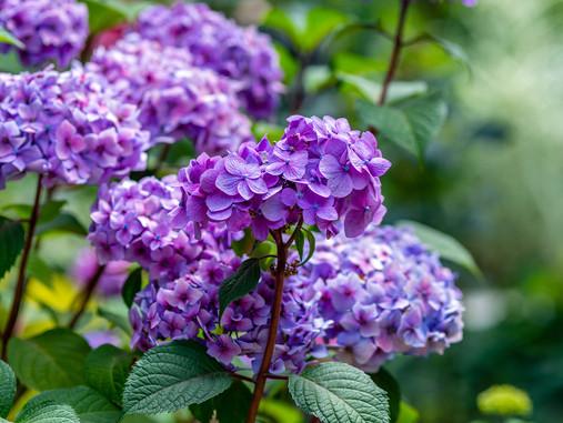 Plant Rx: Hydrangea Won't Bloom