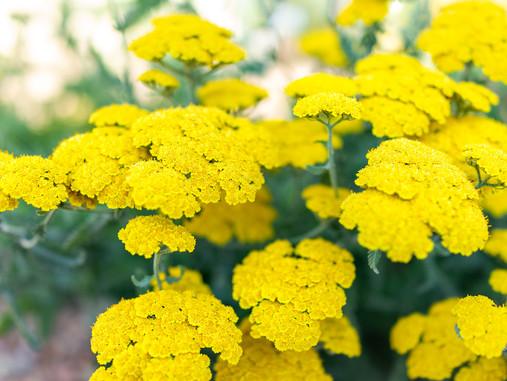 Plant Lore: Yarrow (Achillea millefolium)