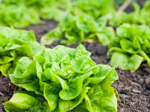What to Plant Now: Winter Veggies