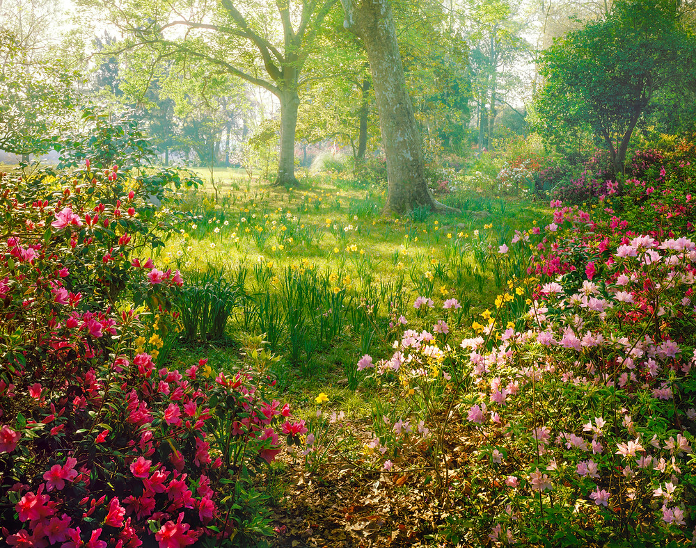 Azaleas and rhododendrons thrive in part-shade conditions. Image by dszc courtesy iStock.