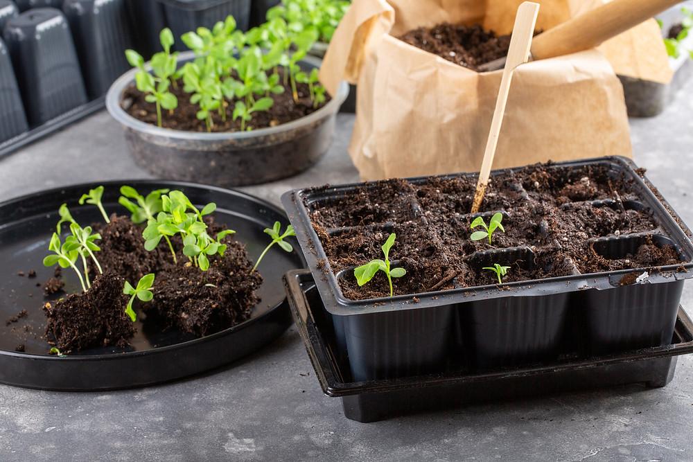 Repotting seedlings into individual plugs.