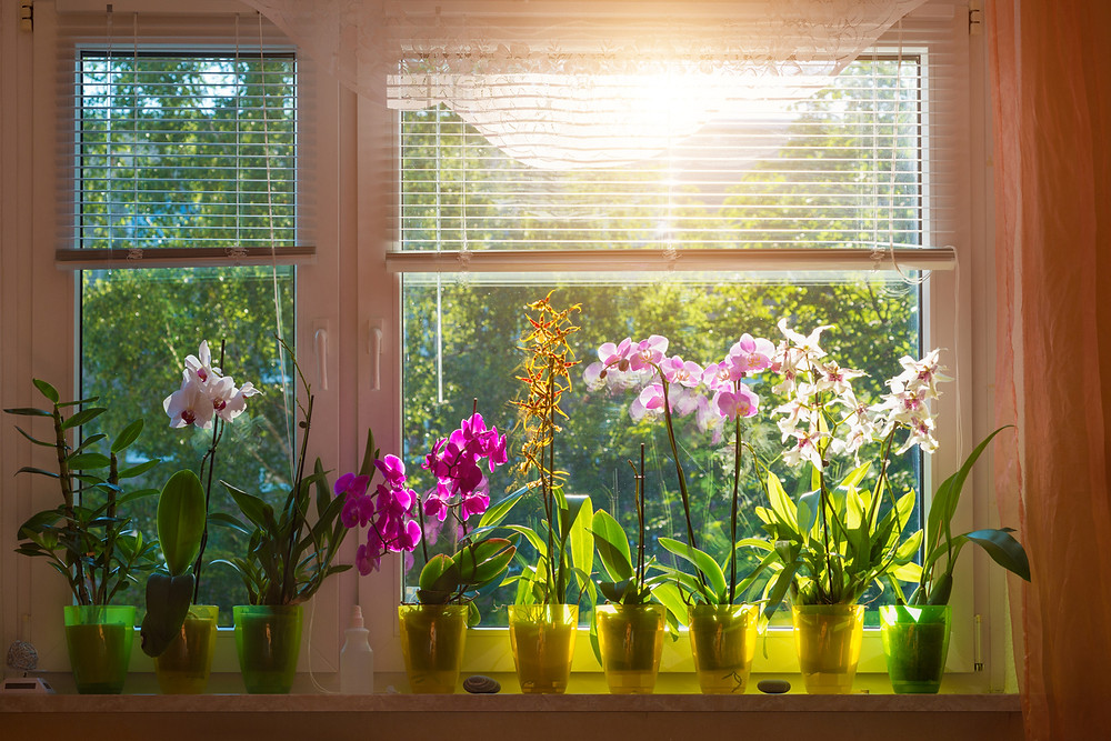 A colorful collection of orchid plants on a window sill backlight by the sun.
