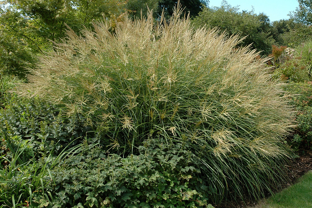 A wonderfully lush Miscanthus needs lots of space to spread. Image by Michel Viard courtesy iStock.