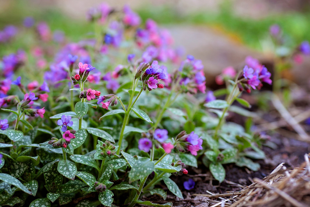 Pulmonaria features speckled foliage and jewel-toned flowers in early spring.