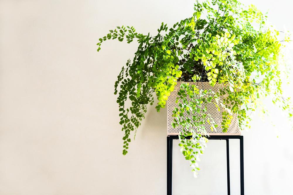 Maidenhair fern indoors.