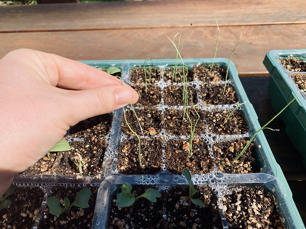 I typically sow multiple seeds per plug, but will need to thin down to 1 seedling per plug.