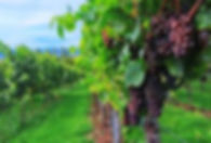 Wine grapes in the vineyard.
