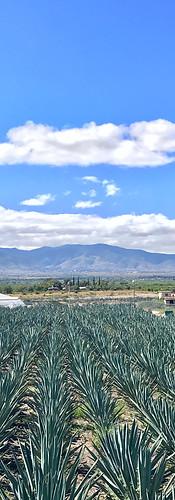 Agave fields in Oaxaca, Mexico
