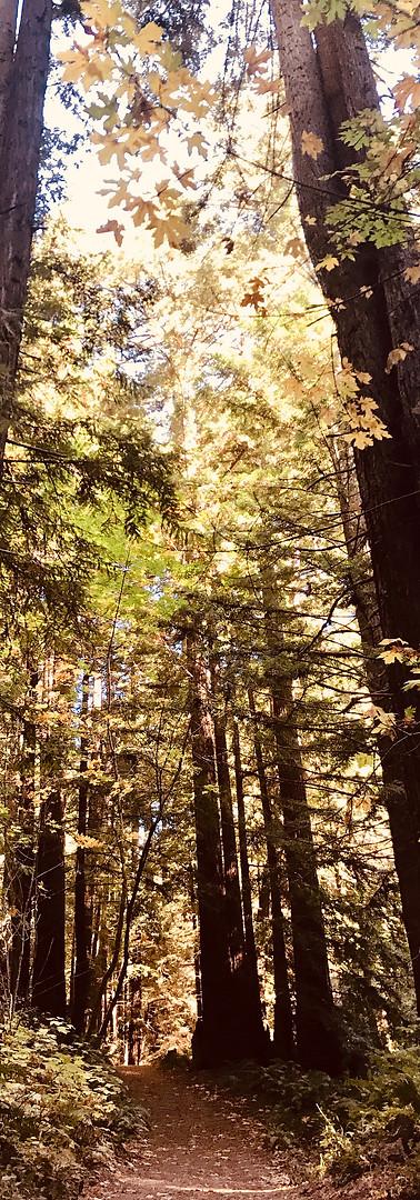 Redwoods around Half Moon Bay, USA