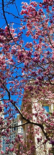 Magnolias in New York City, USA