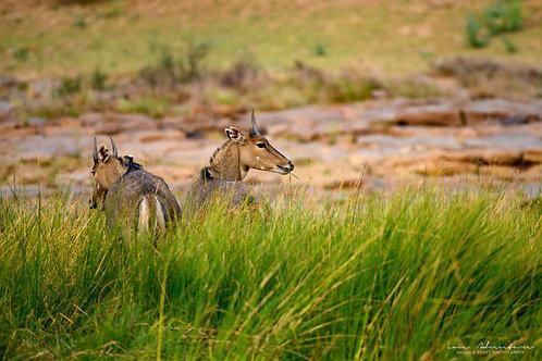 Two Antelope