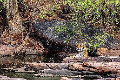 Resting Tiger in Stream