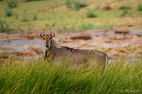 Antelope of Ranthambore