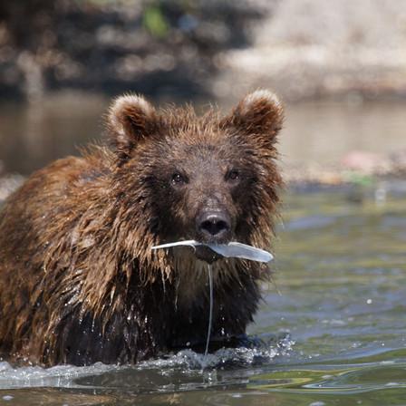 Bears of Kamchatka
