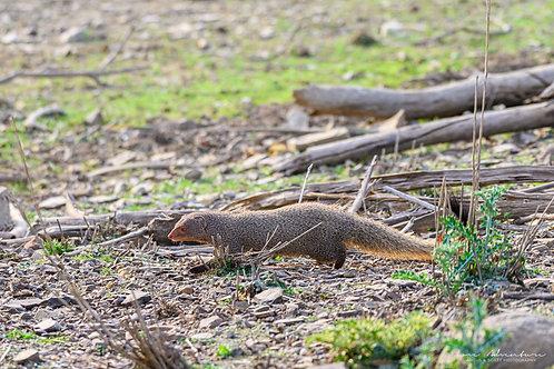 Mongoose of Ranthambore
